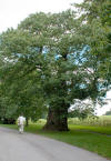 Large tree at Stourhead