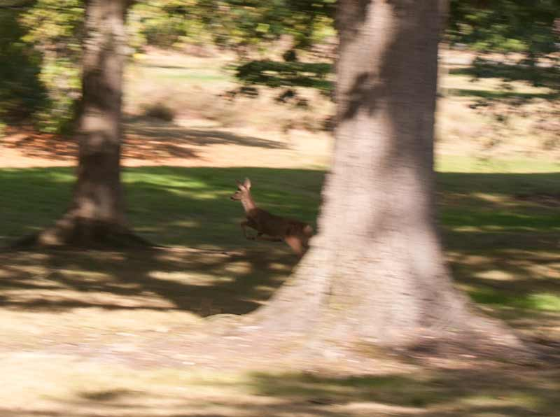 Roe deer Virginia Water