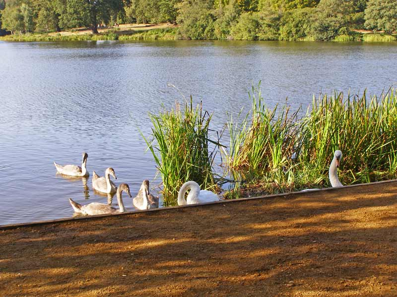 Swans on Virginia Water.