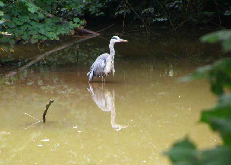 Heron fishing in Virginia Water
