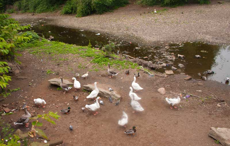 Ducks and geese by the River Severn.