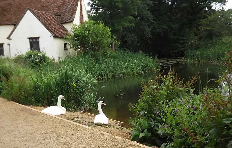 Pair of swans by Willy Lot's Cottage.