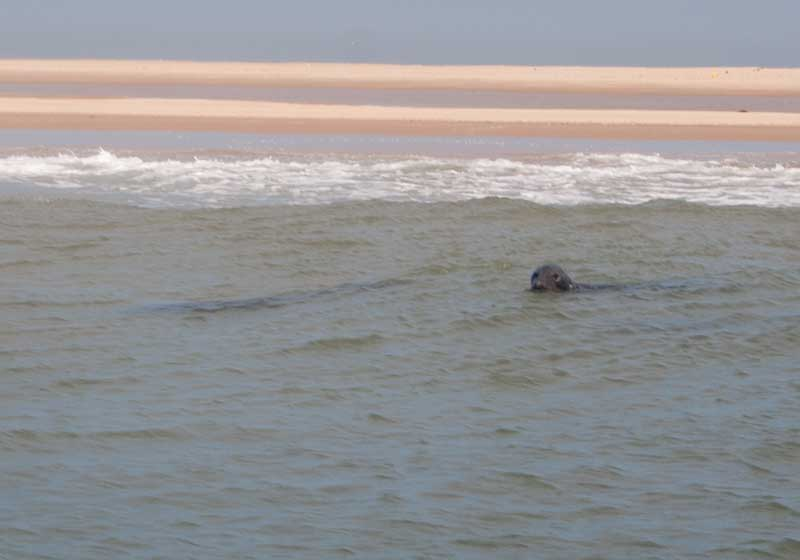 Seals off Great Yarmouth