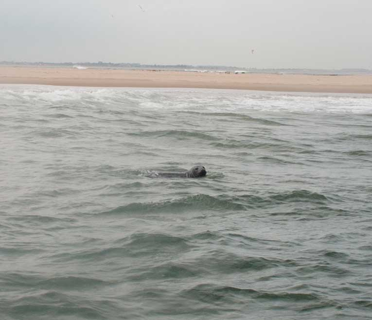 Seals off Scroby Sands.