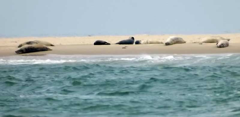 Seals on Scroby Sands