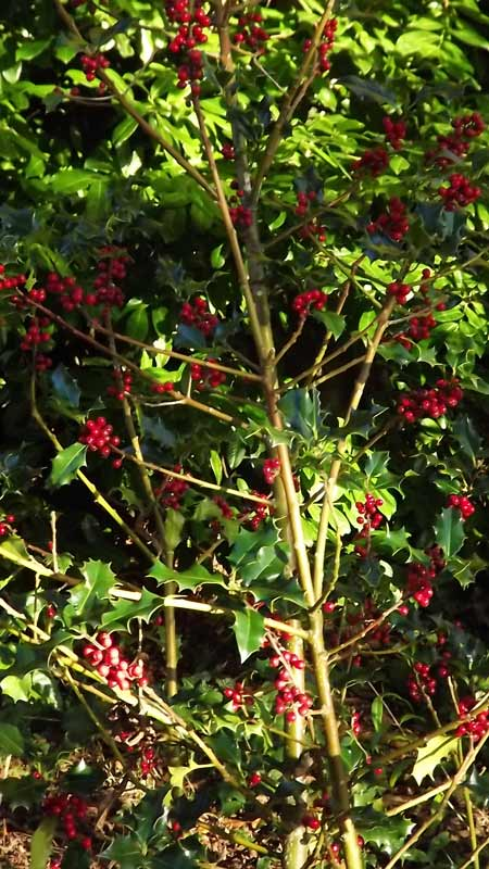 Holly at Hestercombe Gardens